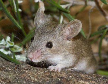 Ratones: Transmisión de enfermedades