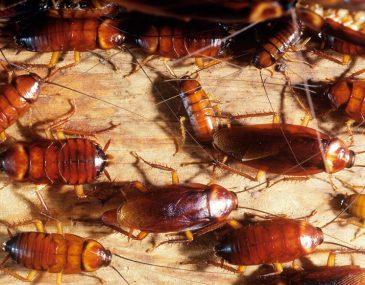 Cucarachas: Transmisión de enfermedades